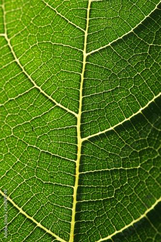 Foglia verde - texture