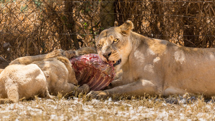 Lioness eating with her cubs