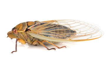 Cicada insect isolated on a white background.