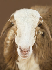 African goat -