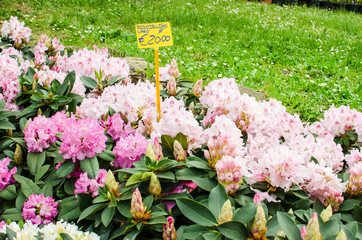 Rhododendron plant for sale with price tag