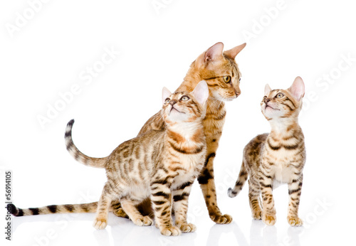 Deurstickers Luipaard little bengal kittens and mother cat. isolated on white