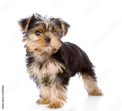Yorkshire Terrier puppy standing in front. isolated on white