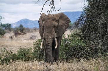 Kenya, Taita Hills National Park, wild african elephant