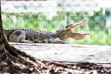 Crocodile in Captivity
