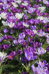 purple and white crocuses in a field