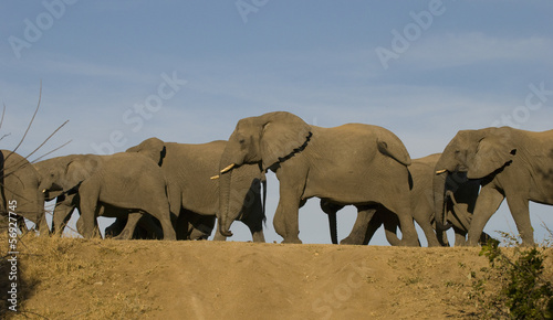 Elephants on the move