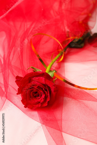Beautiful rose on color fabric background