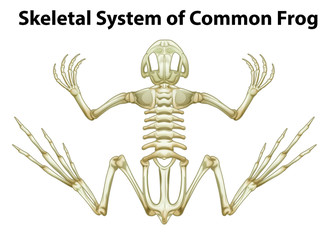 Skeletal system of a common frog
