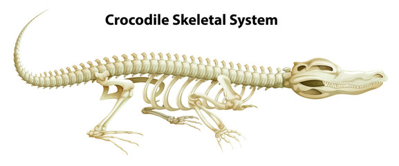 A crocodile's skeletal system