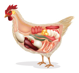 Anatomy of chicken