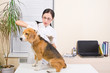 Veterinary makes an injection of dog  breed of beagle