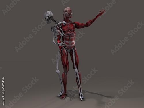Inner skeleton and musculature man divide