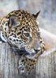 close up of a large Jaguar cat