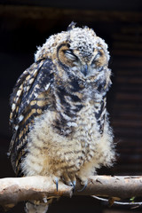 A Portrait of a Scruffy Sleeping Cape Eagle Owl