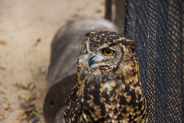 A Portrait of a Cape Eagle Owl in Captivity