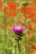 Violet thistle flower