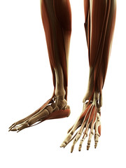 3d rendered illustration of the foot muscles