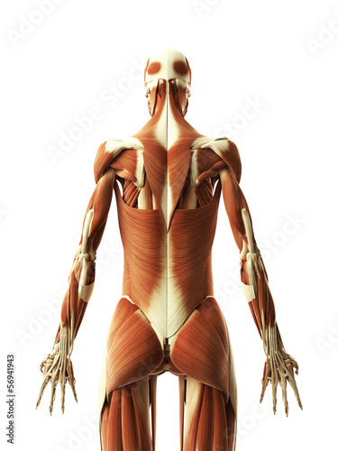 3d rendered illustration of the female muscles