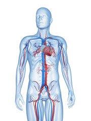 3d rendered illustration of the male vascular system