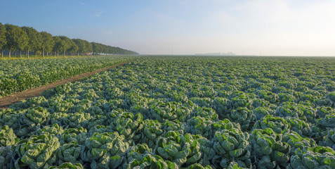 Vegetables growing in autumn at dawn