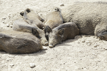 Pigs livestock, animal husbandry
