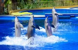 Four dolphins during dolphin show.