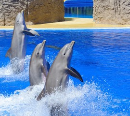 Tthree dolphins during dolphin show.