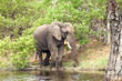 African elephant at the river