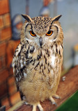 Real owl, nocturnal bird of prey poster