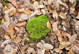 Autumn in the forest, moss and oak leaves