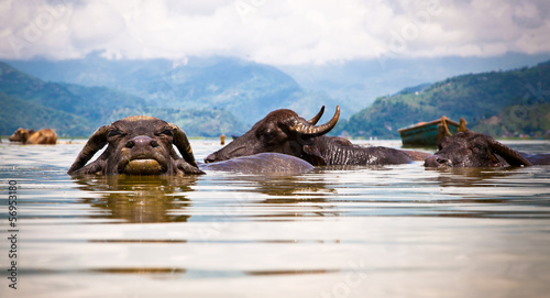 Foto op Aluminium Buffel Water buffalos refreshing in Fewa lake , Nepal.