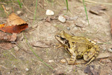 Common Frog Closeup 4