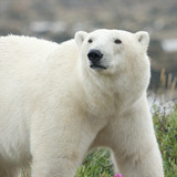 Curious Polar Bear Portrait