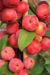 Zieräpfel