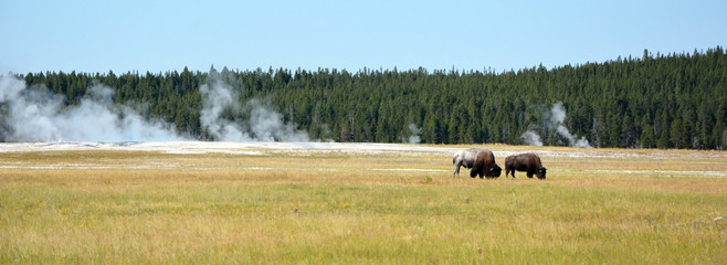 Bisons on the Yellowstone national park