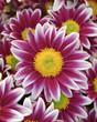 Fototapeten,chrysanthemum,blume,gärten,hintergrund