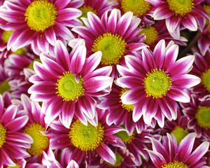 violet white colored chrysanthemums closeup