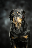 a rottweiler, a friendly big dog