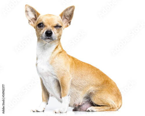 little chiuhauha isolated on white background