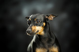 A little doberman thinking over a dark background