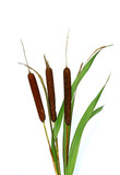 Plant reeds isolated
