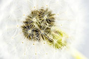 Macro shot of dandelion seed head