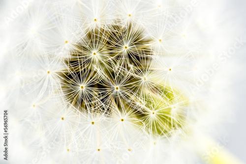 Macro shot of dandelion seed head © Gajus