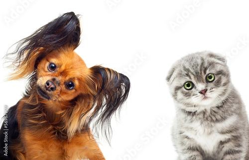Toy terrier dog and a cat on a white background.