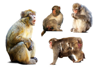 Set of few  macaques  over white background