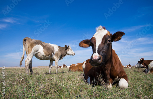 Cows lying on the grass