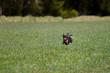 Highspeed Hund