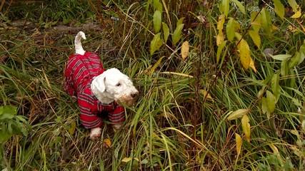 Sealyham Terrier in overalls