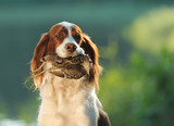 hunting dog holding in teeth snipe